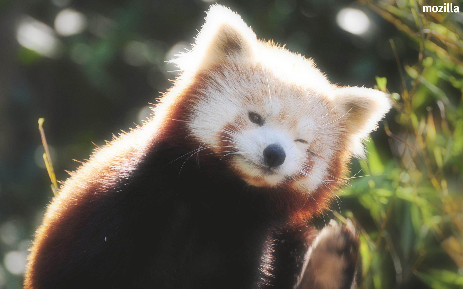 火狐壁纸 -- 小熊猫